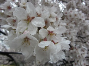 A closeup of the small cherry blossoms