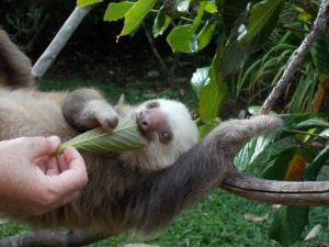 A two toed sloth at the rescue eating a leaf.