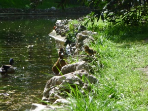 Baby Duck Perching