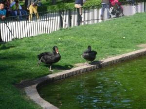 Black Swan One Foot