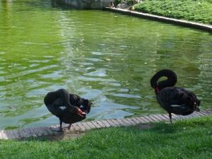 Black Swans Long Necks
