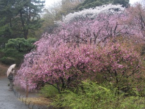 Cherry blossoms come in different shades of pink and white