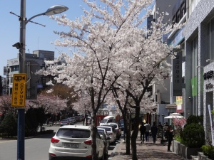 Cherry Trees in Shinchon