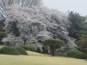 Look at how big this cherry blossom tree is!