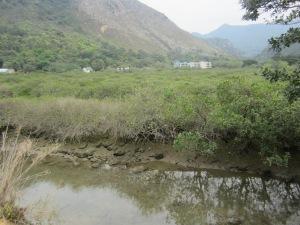 Mangroves in Mud