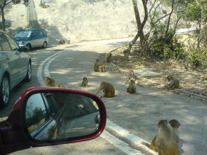 Monkeys in Kam Shan Park