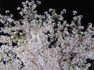 Night Blossoms