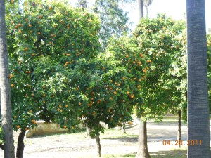 Orange trees are everywhere
