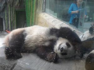 Panda resting
