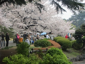Shinjuku Gyoen in Tokyo had a beautiful garden with cherry trees