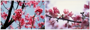 Taiwanese cherry blossom blooms