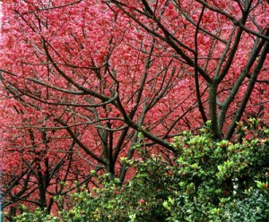 The beautiful blooming cherry blossom trees of Yangmingshan