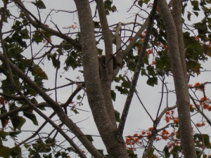 This is the sloth I saw on the side of the road. Look how well he camoflages.
