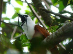 4_Bellbird of the tropical forest