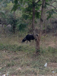 A lone water buffalo on campus