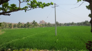 Hampi rice paddies