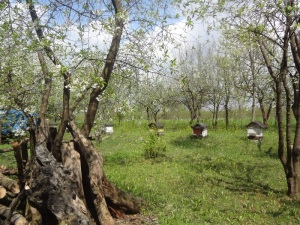 Honey Bees in the Orchard