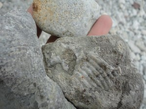 Trilobite and coral fossils collected from the southern coast.
