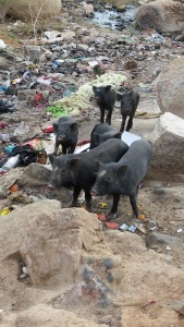 Poor little piggies trying to find food in Hyd