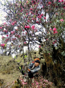 Rhododendron trees (national flower of Nepal)